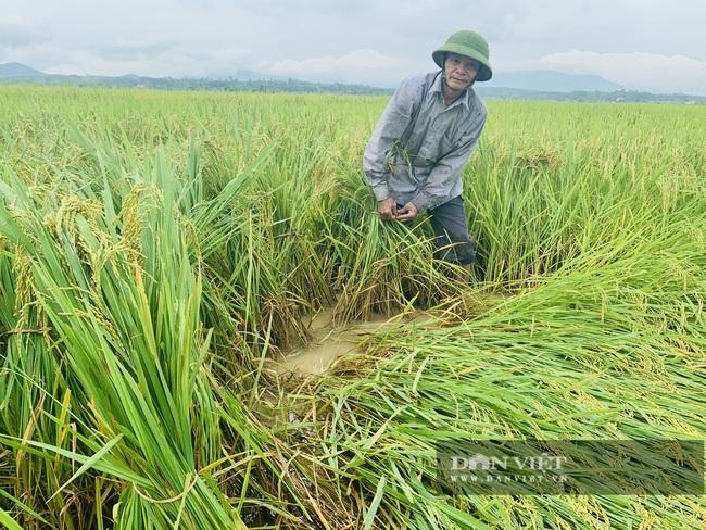 """Quảng Bình: Nông dân """"còng lưng"""" buộc lúa bổ, cứu vụ mùa - Ảnh 3."""