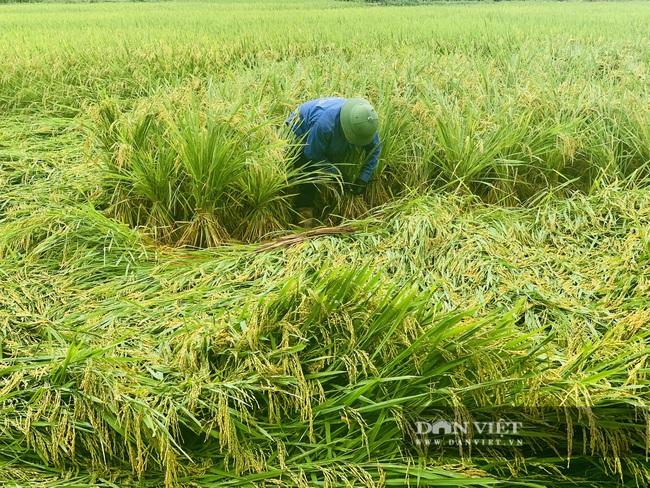 """Quảng Bình: Nông dân """"còng lưng"""" buộc lúa bổ, cứu vụ mùa - Ảnh 4."""
