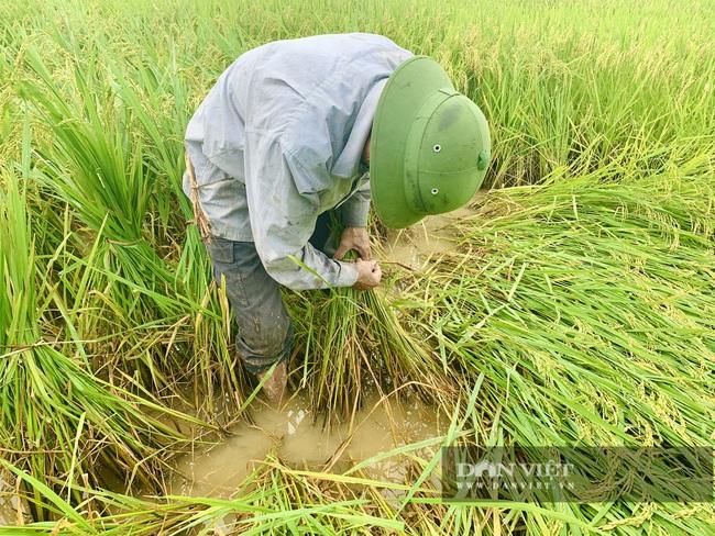 """Quảng Bình: Nông dân """"còng lưng"""" buộc lúa bổ, cứu vụ mùa - Ảnh 5."""