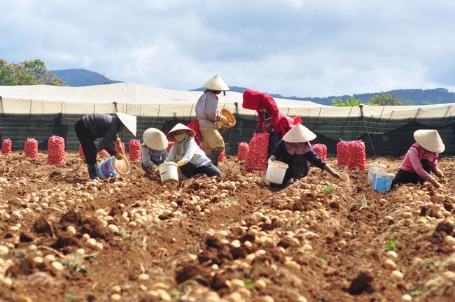 gop/ Hiệu quả liên kết sản xuất khoai tây tại Lâm Đồng - Ảnh 1.
