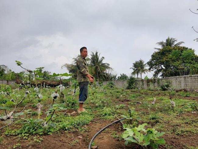 Nghệ An: Trồng cây sung Mỹ trên vùng đất đỏ bazan, anh nông dân xứ Nghệ hái quả bán quanh năm   - Ảnh 2.