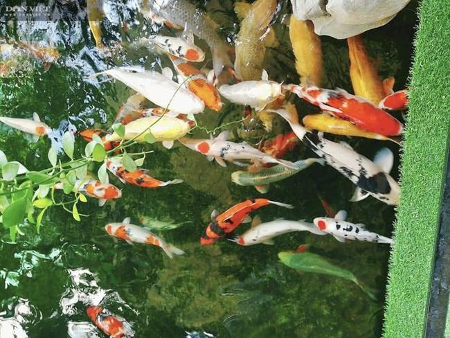 """Từ niềm đam mê với loài cá là quốc ngư của Nhật Bản, 8X Đà Nẵng trở thành """"ông trùm cá Koi"""" - Ảnh 2."""