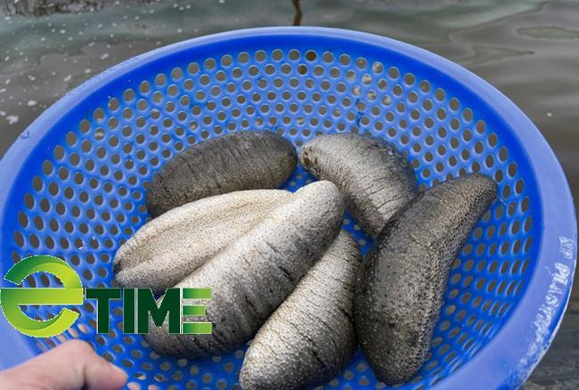 """Quảng Ngãi: Nuôi """"thần dược"""" biển ghép chung với con đặc sản có chấm thu tiền tỷ/năm  - Ảnh 6."""