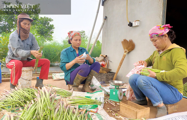 """Clip: Nông dân Nghệ An trồng giống rau """"hoàng đế"""", cứ sáng ra cầm chắc 1 triệu đồng - Ảnh 10."""