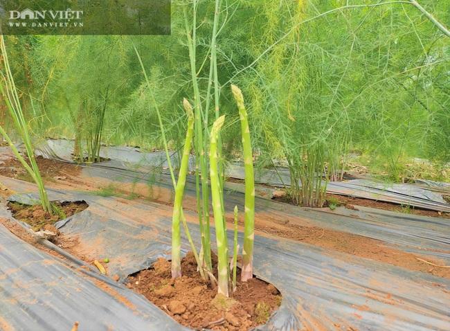 """Clip: Nông dân Nghệ An trồng giống rau """"hoàng đế"""", cứ sáng ra cầm chắc 1 triệu đồng - Ảnh 3."""