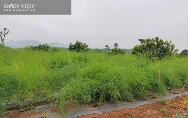 """Clip: Nông dân Nghệ An trồng giống rau """"hoàng đế"""", cứ sáng ra cầm chắc 1 triệu đồng - Ảnh 5."""