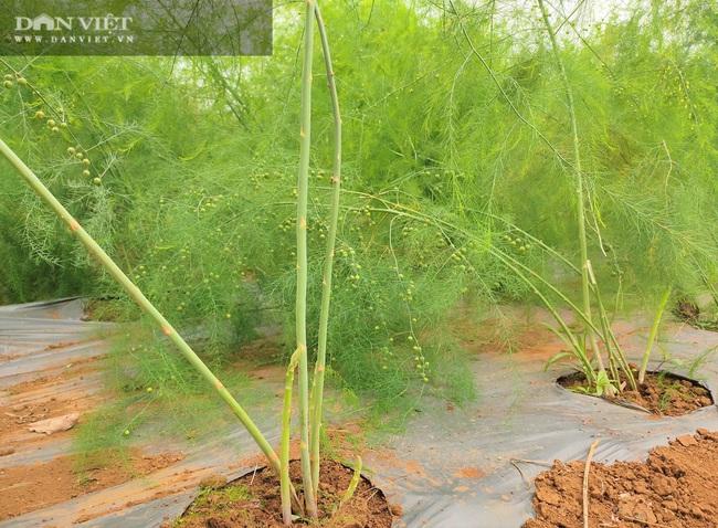 """Clip: Nông dân Nghệ An trồng giống rau """"hoàng đế"""", cứ sáng ra cầm chắc 1 triệu đồng - Ảnh 6."""