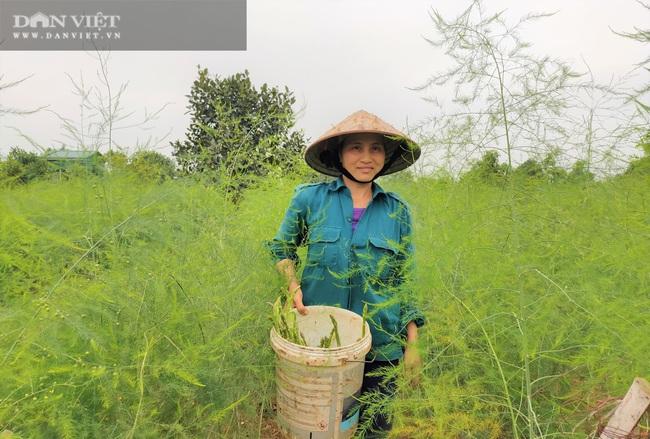 """Clip: Nông dân Nghệ An trồng giống rau """"hoàng đế"""", cứ sáng ra cầm chắc 1 triệu đồng - Ảnh 2."""