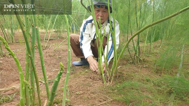 """Nam Định: Trồng rau """"vua"""", ngày nào cũng có mầm mập ú cắt bán, kiếm tiền triệu mỗi ngày - Ảnh 3."""