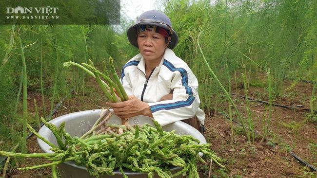 """Nam Định: Trồng rau """"vua"""", ngày nào cũng có mầm mập ú cắt bán, kiếm tiền triệu mỗi ngày - Ảnh 4."""