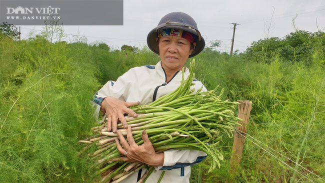 """Nam Định: Trồng rau """"vua"""", ngày nào cũng có mầm mập ú cắt bán, kiếm tiền triệu mỗi ngày - Ảnh 1."""