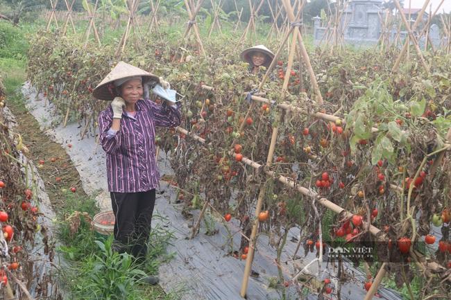 Ninh Bình: Bán 10kg cà chua chưa mua nổi một bát phở - Ảnh 1.