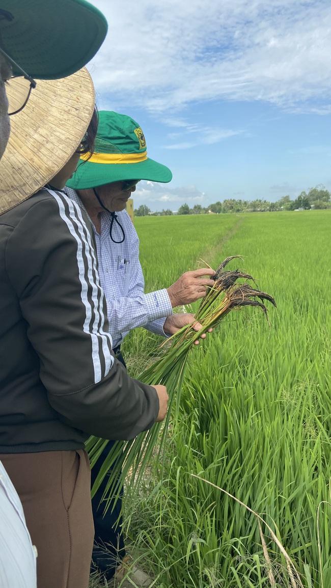 Lợi nhuận từ mô hình canh tác lúa thông minh tăng tới gần 6,7 triệu đồng/ha - Ảnh 4.