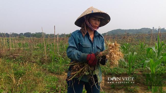 Hà Tĩnh: Ở đây, người dân trồng tỏi, đến lúc thu hoạch chỉ đếm củ tính tiền - Ảnh 2.