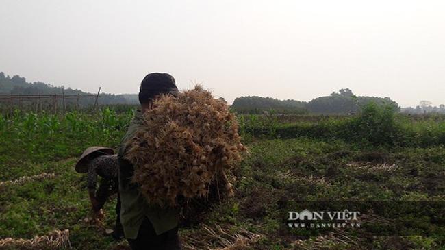 Hà Tĩnh: Ở đây, người dân trồng tỏi, đến lúc thu hoạch chỉ đếm củ tính tiền - Ảnh 4.