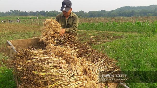 Hà Tĩnh: Ở đây, người dân trồng tỏi, đến lúc thu hoạch chỉ đếm củ tính tiền - Ảnh 5.