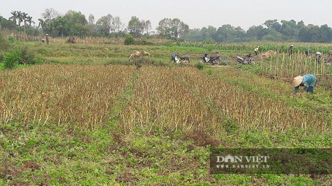 Hà Tĩnh: Ở đây, người dân trồng tỏi, đến lúc thu hoạch chỉ đếm củ tính tiền - Ảnh 6.