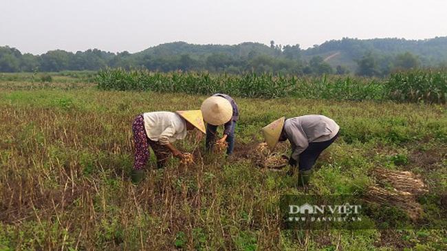 Hà Tĩnh: Ở đây, người dân trồng tỏi, đến lúc thu hoạch chỉ đếm củ tính tiền - Ảnh 3.