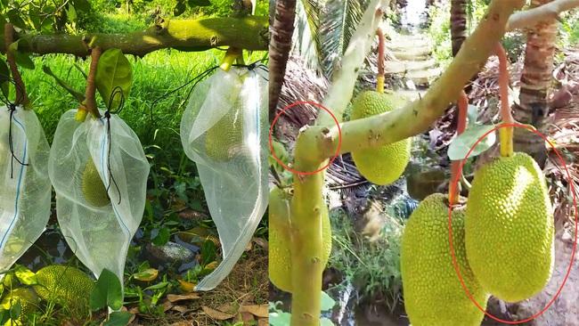 Giá mít Thái hôm nay 3/5: Nông dân chỉ cách trồng mít Thái siêu lùn, cho trái nhiều, to tròn, bán giá cao - Ảnh 1.