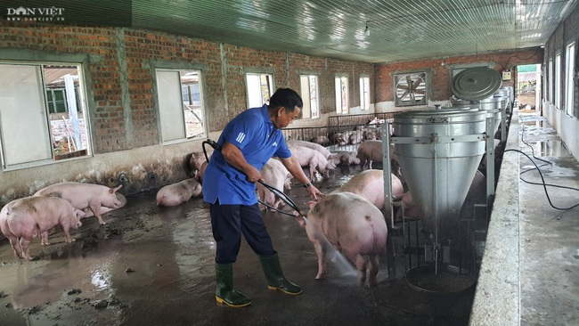 Đà Nẵng: Bác sĩ nghỉ hưu về phụ vợ nuôi lợn lãi hơn 500 triệu đồng/năm - Ảnh 5.