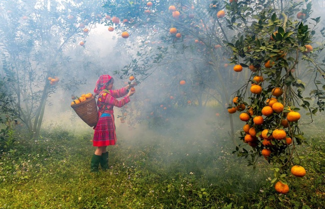 """Những cây cam sành """"đẻ"""" hàng tạ quả/vụ - Ảnh 1."""