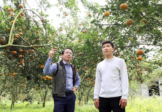 """Bí quyết bắt cây cam sành """"đẻ"""" hàng tạ quả/vụ của tỷ phú cam Hà Giang - Ảnh 4."""