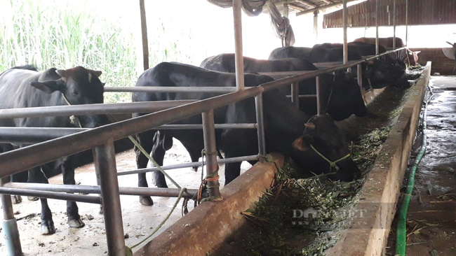 Thái Nguyên: HTX nuôi bò 3B vừa bán thịt vừa bán giống mỗi năm doanh thu hàng trăm tỷ đồng - Ảnh 2.