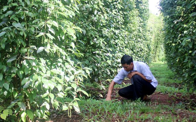 Người dân chăm sóc vườn tiêu sạch ở tỉnh Bình Phước. Ảnh Trần Khánh
