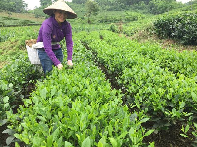 Chè VietGAP có thương hiệu, nông dân thu nhập cao - Ảnh 1.