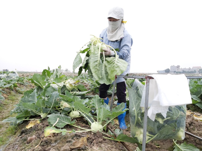 """Những cuộc """"cách mạng"""" trên đất lúa kém hiệu quả (bài 2):Tỉnh """"bật đèn xanh"""", nông dân làm đúng  - Ảnh 1."""