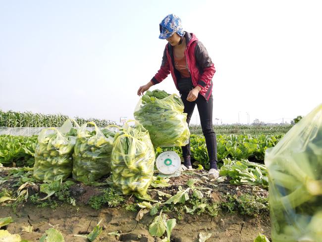 """Những cuộc """"cách mạng"""" trên đất lúa kém hiệu quả (bài 2):Tỉnh """"bật đèn xanh"""", nông dân làm đúng  - Ảnh 3."""