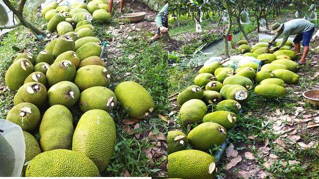 Giá mít Thái hôm nay 15/5: Mít Kem bán tại vườn chỉ còn từ 2.000 - 3.000 đồng/kg, người dân lỗ nặng - Ảnh 1.