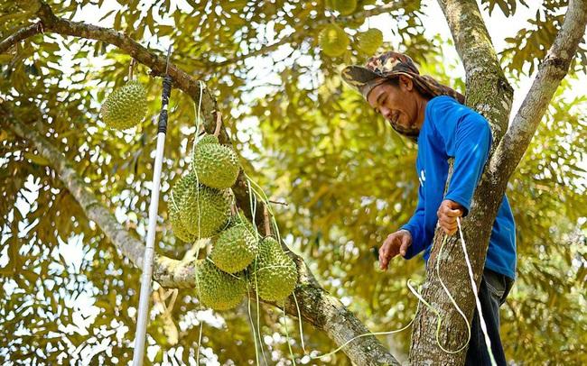 Nông dân chăm sóc sầu riêng ở Đạ Huoai, Lâm Đồng. Ảnh Thùy Linh