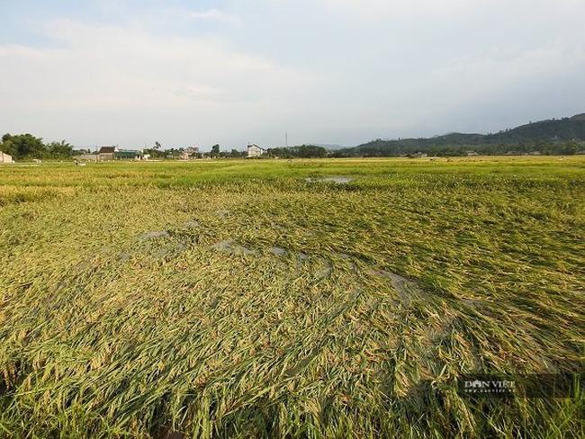 """Nghệ An: Lúa chín rục ngoài đồng, nông dân """"dài cổ"""" chờ máy gặt - Ảnh 3."""
