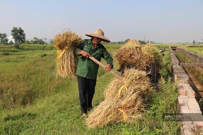 """Nghệ An: Lúa chín rục ngoài đồng, nông dân """"dài cổ"""" chờ máy gặt - Ảnh 4."""