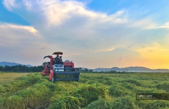 """Nghệ An: Lúa chín rục ngoài đồng, nông dân """"dài cổ"""" chờ máy gặt - Ảnh 5."""