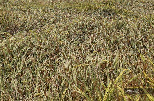 """Nghệ An: Lúa chín rục ngoài đồng, nông dân """"dài cổ"""" chờ máy gặt - Ảnh 6."""