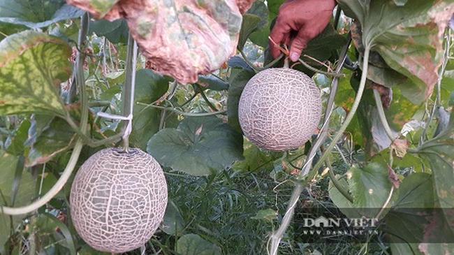 Ngắm vườn dưa lưới lúc lỉu quả ở vùng chảo lửa Hà Tĩnh - Ảnh 4.