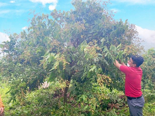 Nậm Nhùn: Kiểm tra tiến độ sinh trưởng, phát triển của cây xoài, cây nhãn - Ảnh 2.