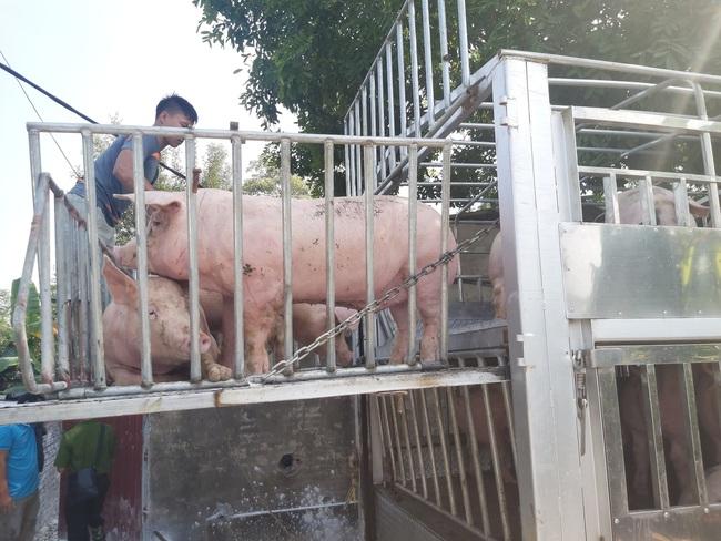 Giá lợn hơi giảm trong bão giá thức ăn chăn nuôi: Hộ nuôi nhỏ lẻ nguy cơ thua lỗ - Ảnh 1.