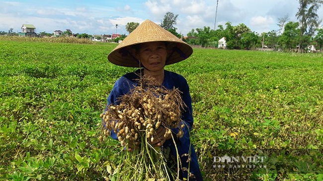 Hà Tĩnh: Nông dân phấn khởi vì lạc Xuân được mùa - Ảnh 3.