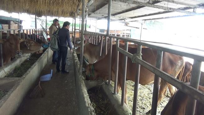 """Lâm Đồng tạo sinh kế cho người nghèo, từ 29 con bò """"đẻ ra"""" 94 con, góp phần đẩy lùi tín dụng đen"""