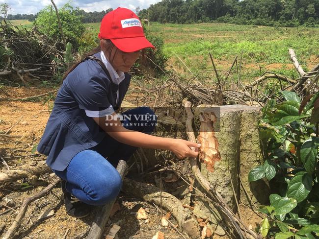 """Bình Phước: Dự án """"bảo vệ rừng"""" để … mất rừng, một số tổ chức bị kiểm điểm - Ảnh 3."""