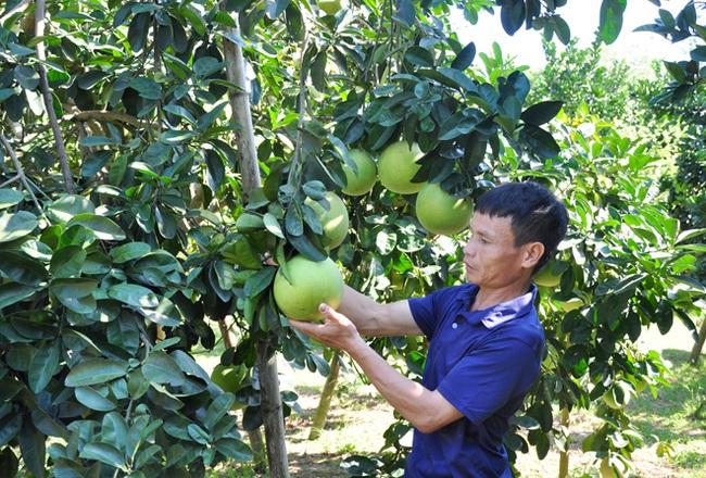 Vốn Hội giúp nhà nông  xứ Tuyên trồng bưởi hiệu quả - Ảnh 1.
