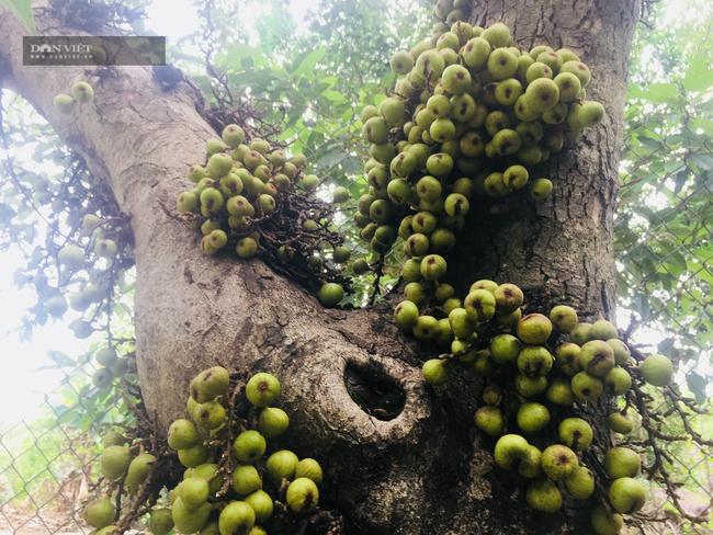 Chuyện lạ Ninh Bình: Cây sung mọc quả chi chít nhưng không ai dám hái ăn - Ảnh 3.