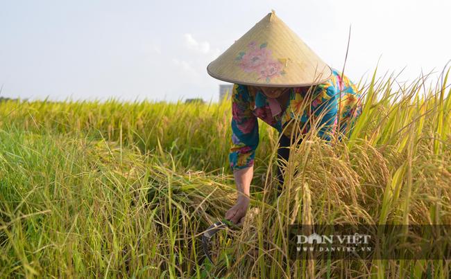 Người dân ngoại thành Hà Nội gặt lúa dưới thời tiết nắng nóng 40 độ C - Ảnh 3.