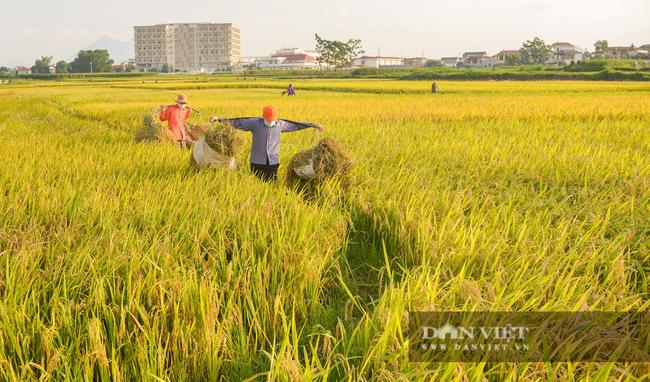 Người dân ngoại thành Hà Nội tất bật gặt lúa dưới thời tiết nắng nóng 40 độ C - Ảnh 5.