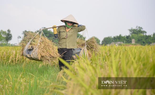 Người dân ngoại thành Hà Nội gặt lúa dưới thời tiết nắng nóng 40 độ C - Ảnh 6.