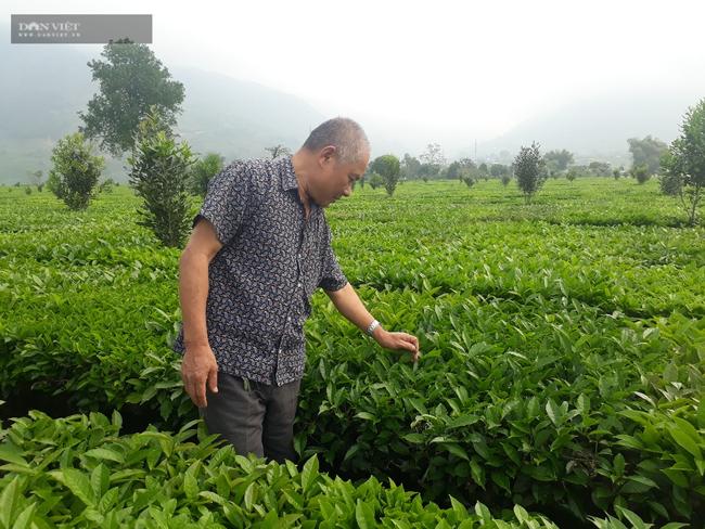 Lai Châu: Lão nông bật mí bí quyết chăm nương chè cho năng suất khủng - Ảnh 1.