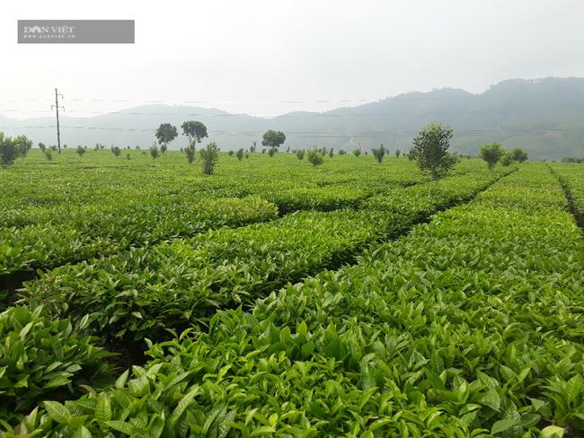 Lai Châu: Lão nông bật mí bí quyết chăm nương chè cho năng suất khủng - Ảnh 2.